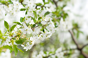 Blossom Cherry Tree Royalty Free Stock Images - Image: 10068819
