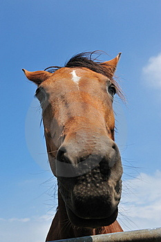 Beautiful Brown Horse Stock Photography - Image: 10070052