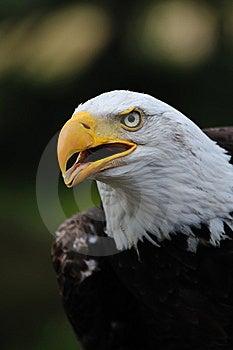 American Bald Eagle Stock Photography - Image: 10070172