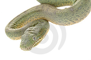 Emerald Tree Boa Stock Photos - Image: 10073293