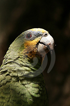 A Green Parrot Stock Photo - Image: 10075600