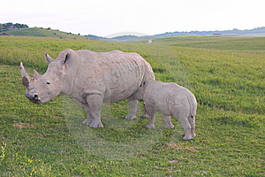 Rhino Royalty Free Stock Image - Image: 10077456
