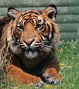 Tiger Animal  Stock Photo