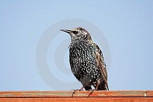 European Starling Royalty Free Stock Image - Image: 10080686