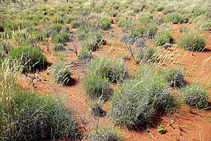 Spinifex In Red Centre, Australia Stock Photos - Image: 10089103