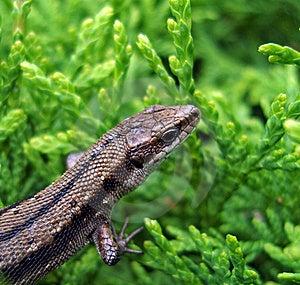 Lizard. Stock Photos - Image: 10094523
