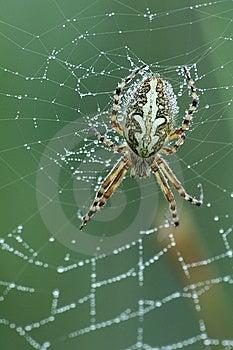 Oak Spider (Aculepeira Ceropegia) Royalty Free Stock Photos - Image: 10095078