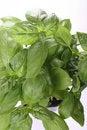 Basil plant Stock Photo