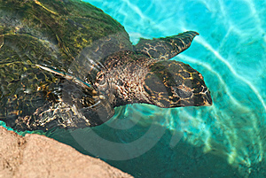 The Green Turtle Stock Photo - Image: 10101100