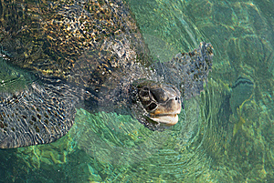 The Green Turtle Royalty Free Stock Photo - Image: 10101105