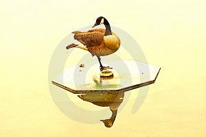 Golden Goose Stock Photo - Image: 10104080