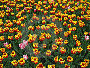 Tulips Stock Photo - Image: 10106450