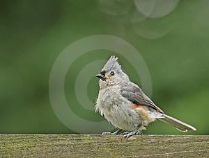 Tufted Titmouse (Baeolophus Bicolor) Stock Image - Image: 10106581