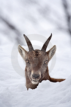 Peek-a-boo Juvenile Alpine Ibex In The Snow Royalty Free Stock Photography - Image: 10112147