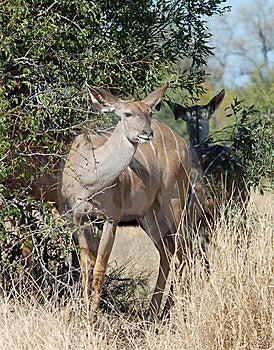 Kudu Antelope Royalty Free Stock Image - Image: 10120726