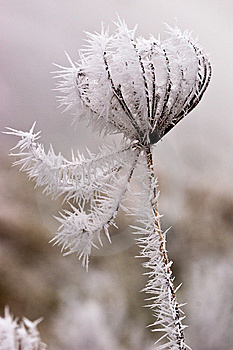 Hoar Frost Or Soft Rime On Plants At A Winter Day Royalty Free Stock Image - Image: 10121986
