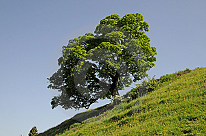 Maple Tree Stock Images - Image: 10122714