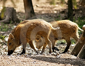 Wild Pigs Royalty Free Stock Photo - Image: 10123385