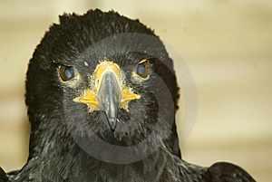 Verreaux's Eagle Stock Photography - Image: 10123492