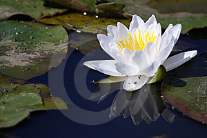 White Water Lily Royalty Free Stock Photo - Image: 10126155