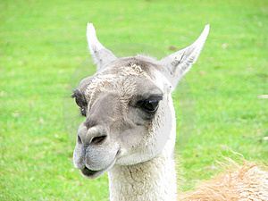 Animal Expressions-A Sarcastic Lama Royalty Free Stock Photos - Image: 10132978