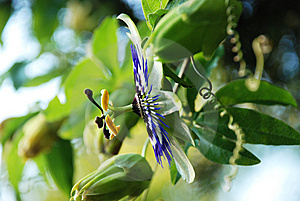 Passion Flower Royalty Free Stock Images - Image: 10132989