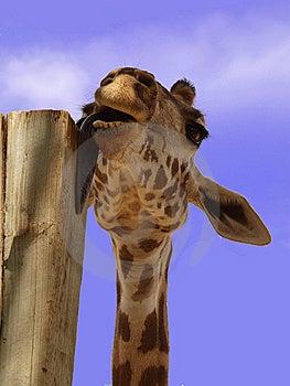 Licking Giraffe Royalty Free Stock Photos - Image: 10135168