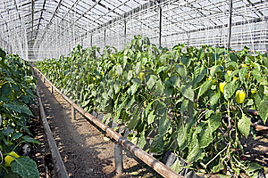 Greenhouse  Pepper Plants. Royalty Free Stock Images - Image: 10135459