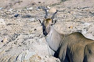 An Eland Antelope Royalty Free Stock Image - Image: 10135716