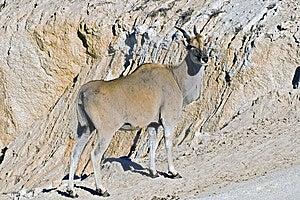 An Eland Antelope Stock Image - Image: 10135741