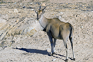 An Eland Antelope Stock Photography - Image: 10135772