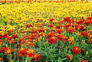 Orange And Yellow Marigolds Royalty Free Stock Photos - Image: 10141708