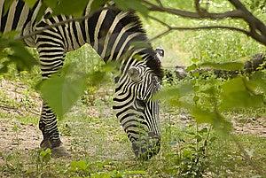 Grazing Zebra Royalty Free Stock Photo - Image: 10141815