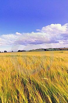 Wheat Field Stock Photography - Image: 10143012