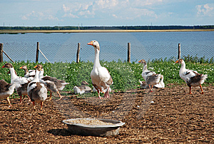 Domestic Geese Stock Photos - Image: 10143253