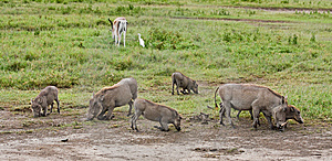 Warthogs Feeding Stock Photos - Image: 10145283