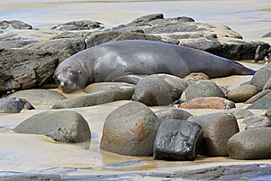 Fur Seal Napping Stock Images - Image: 10145354