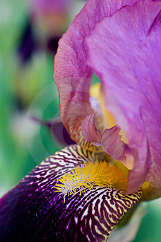 Violet Iris Royalty Free Stock Photos - Image: 10146328