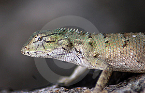 Lizard In Wild Stock Images - Image: 10150224