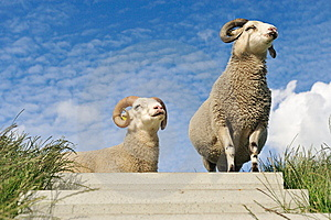 Sheep On Top Of The Dike Royalty Free Stock Photography - Image: 10152117