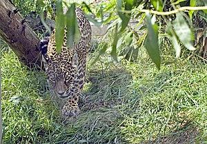 Jaguar Stock Photos - Image: 10156653
