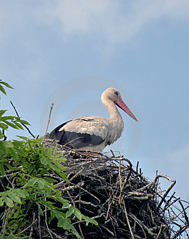 Stork In A Nest Stock Images - Image: 10156754