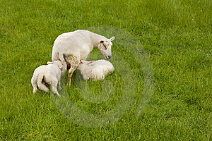 Sheep And Lambs Royalty Free Stock Photo - Image: 10156935