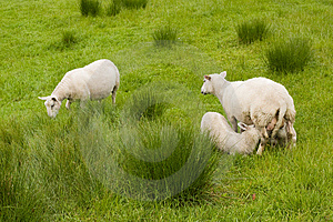 Sheep And Lambs Stock Images - Image: 10157024