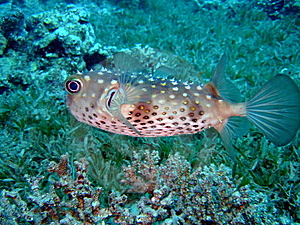 Blowfish Stock Image - Image: 10157111