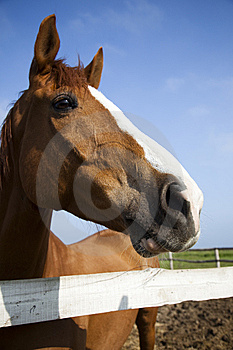 Horse head of brown horse Royalty Free Stock Photography