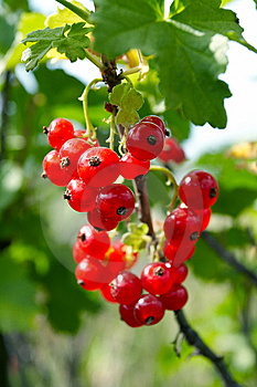 Cluster Red Currant Royalty Free Stock Images - Image: 10179849