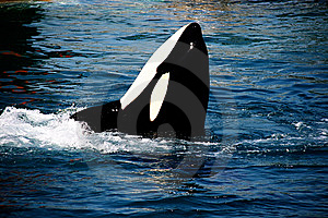 Killer Whale Stock Photography - Image: 10182672