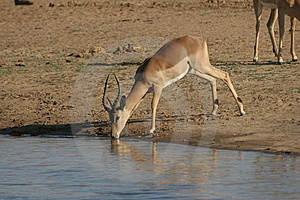 Impala At Water Hole Royalty Free Stock Image - Image: 10182986