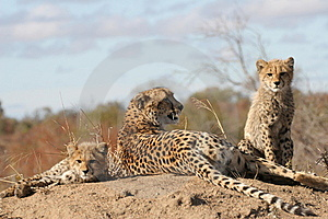Cheetah Mother And Cubs Royalty Free Stock Photos - Image: 10183088